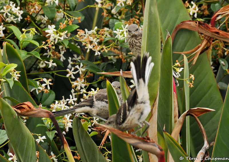 Three fledgling Northern Mockingbirds in my neighbor's garden, on a Bird of Paradise bush, waiting for their parents to return with food. One baby was trying to fly while the other two watched him.