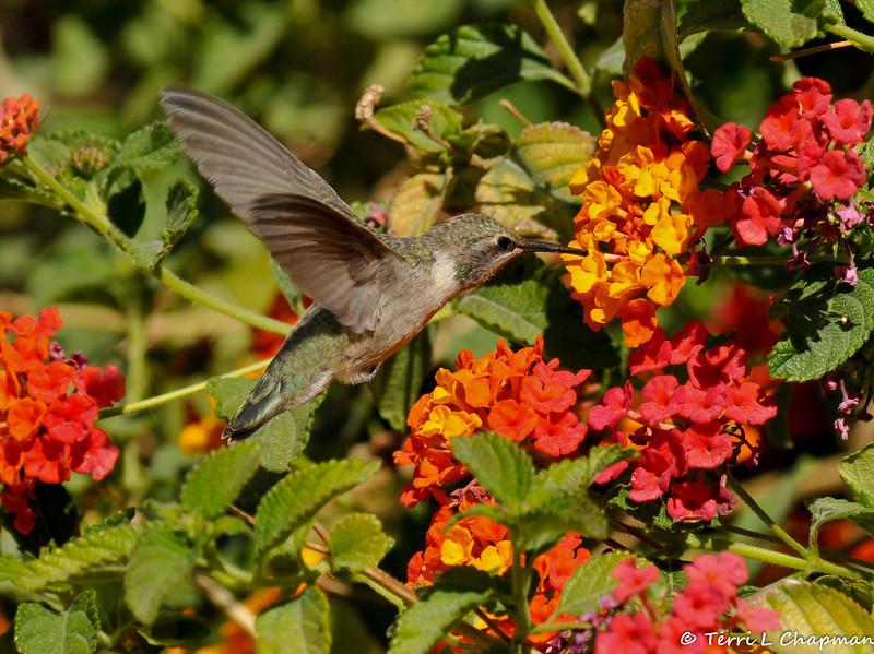 A female Costa's Hummingbird drinking nectar from a Lantana bloom