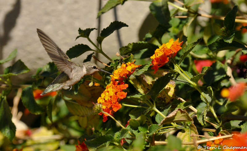 A female Costa's Hummingbird sipping nectar from a Lantana flowers