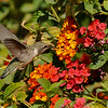 A female Costa's Hummingbird sipping nectar from Lantana flowers