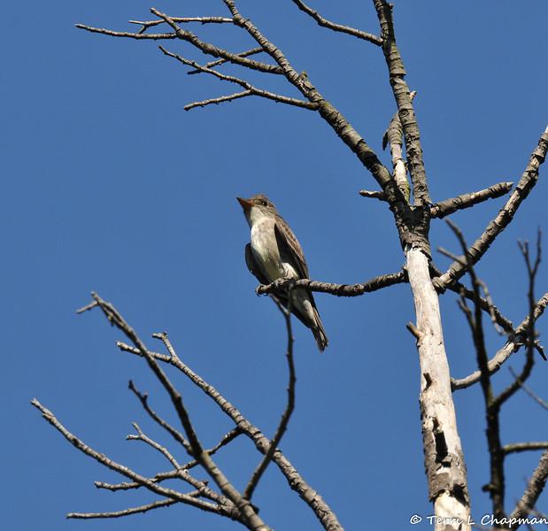 An Olive-sided Flycatcher
