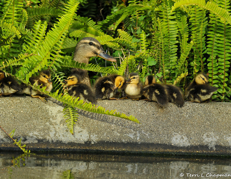 A mother Mallard with her ducklings