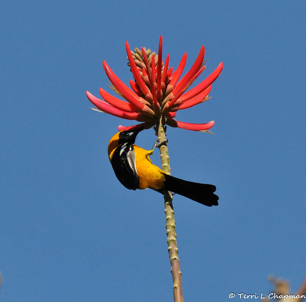 A male Hooded Oriole drinking nectar from a Naked coral tree bloom