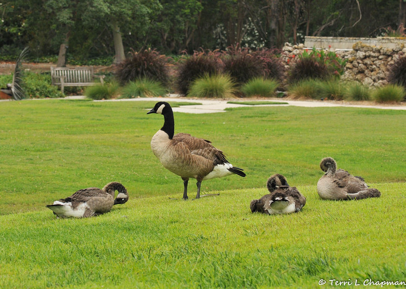 A parent Canada Goose watches over its three goslings , resting on the lawn at the LA Arboretum