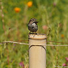 A Song Sparrow perched on a bamboo post