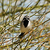 A Black-throated Sparrow photographed in Palm Desert, CA