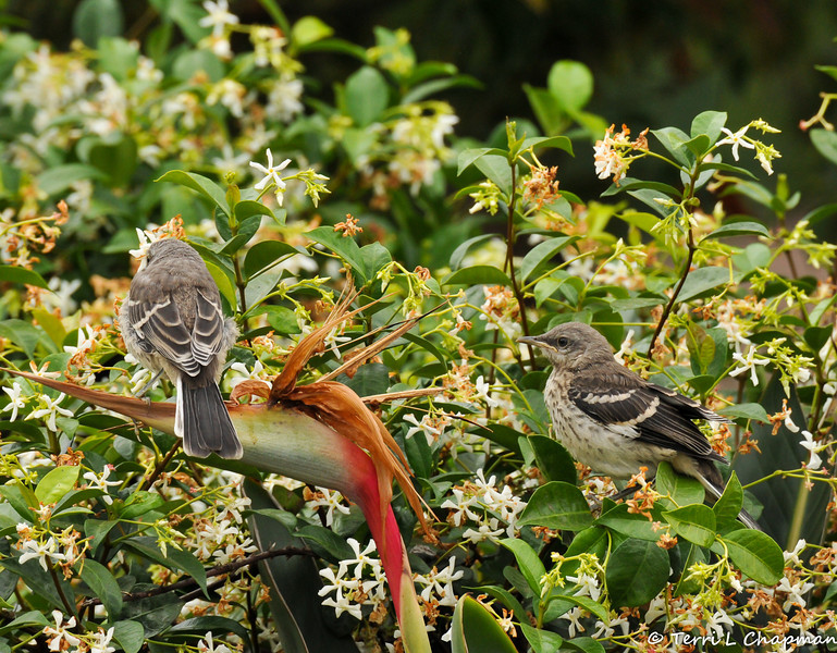 Fledgling Northern Mockingbirds in my neighbor's garden, waiting for their parents to return with food.