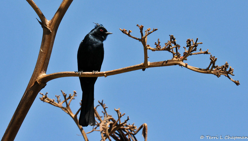 A male Phainopepla photographed in Pal, Desert, CA.