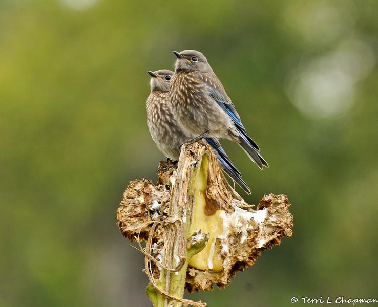 Two fledgling Western Bluebirds perched on a dead sunflower