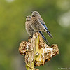 Two fledgling Western Bluebirds perched on a dead sunflower