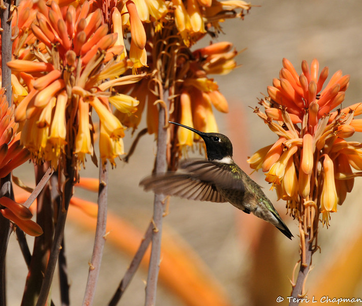 A male Black-chinned Hummingbird flying over Red Hot Poker plants