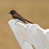 A Black Phoebe perched on a folding chair being used for an outside wedding ceremony