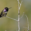 A male Costa's Hummingbird photographed in Palm Desert, CA.