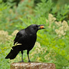 An American Crow, perched on a dribbling water fountain, with a piece of food in its bill. The crow was using the water to soften the food before it ate it.