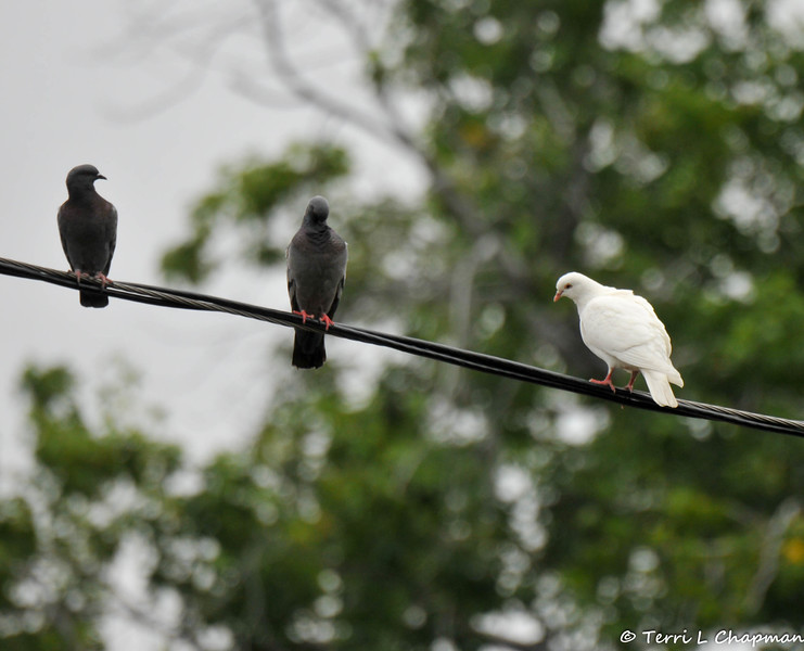 A white Dove perched on an electrical wire with pigeons. This dove was probably released for a wedding or funeral and did not return to its handler.  White birds are far more likely to be easy meals for birds of prey and for this reason, I am not a fan of releasing captive birds for events.