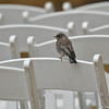 A fledgling Western Bluebird using a wedding chair as a perching stop as it learns to fly. Its parents and sibling were close by.