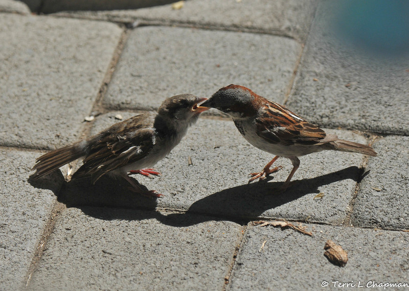 I took this picture, of a male House Sparrow feeding a juvenile female House Sparrow, through my backdoor!