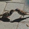 A male Old World Sparrow feeding a juvenile female Old World Sparrow