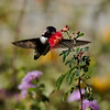 A male Costa's Hummingbird, spipping nectar from a Baja Fairy Duster bloom,  photographed in Palm Desert, CA.