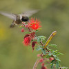 A male Black-chinned Hummingbird sipping nectar from a Baja Fairy Duster bloom