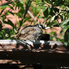 A White-crowned Sparrow in a garden foundatin