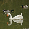 "The long term goose resident at Descanso Gardens, ""Powder,"" and two male Mallards swimming in the lake at the Gardens."