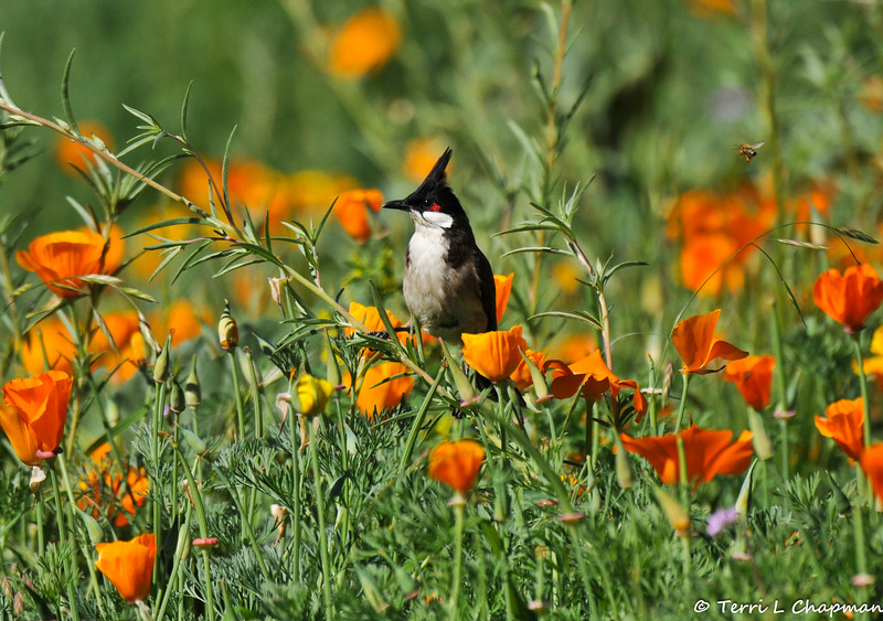 This image, of a Red-whiskered Bulbul perched on the stem of a wildlflower, and surrounded by California Poppies, was featured in the summer 2017 issue of American Forests magazine. Can you spot the honey bee in flight? Red-whiskered Bulbuls are native to tropical regions of Asia, including India, Nepal, Bangladesh, Myanmar, and the south China coast. Escaped caged birds were introduced and established colonies in North America.