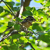 A juvenile Black-headed Grosbeak in a Mulberry tree