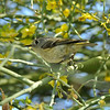 A Ruby-crowned Kinglet perched in a Palo Verde tree