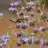 A male Black-chinned Hummingbird sipping nectar from a sage flower