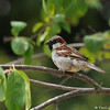 A male Old World Sparrow perched in a Chinese Fringe tree