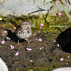 A Song Sparrow eating a seed found in a pond that has lost its water from the California drought