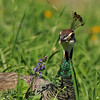 An Indian Peahen in a wildflower garden