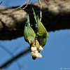 Two wild Yellow-chevron Parakeets hanging from a seed pod of a Floss Silk tree and eating the seeds out of the pod.