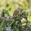 A Lincoln's Sparrow perched in a blooming Rosemary bush