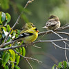 A male American Goldfinch, displaying breeding plumage, and two female American Goldfinches perched on the Ficus tree in my garden. They were waiting to fly to the platform feeder I had just filled with sunflower seeds.
