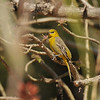 A female Hooded Oriole