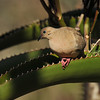 A Morning Dove, resting briefly, after building its nest in the Aloe plant