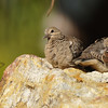 Two fledgling Mourning Doves waiting for their parents to return to feed them
