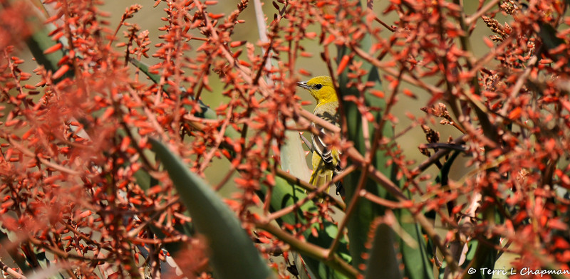 A female Hooded Oriole among the blooming Aloe