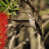A female Anna's Hummingbird hovering near a bottlebrush bloom