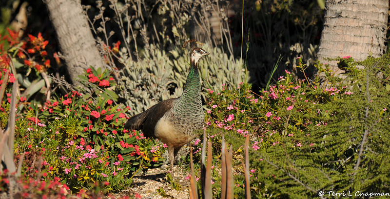A Peahen walking through the Madagascar Spiny Forest at the LA Arboretum
