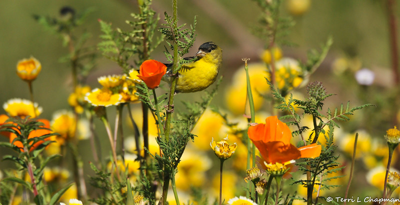 A male Lesser Goldfinch perched on the stem of a wild flower
