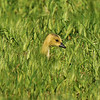 A gosling walking through a field of weeds; searching for bugs to eat.