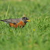 An American Robin looking for worms in the grass.