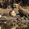 Two Canada Geese resting at the edge of a pond along with 10, sunbathing, Red-eared Slider Turtles