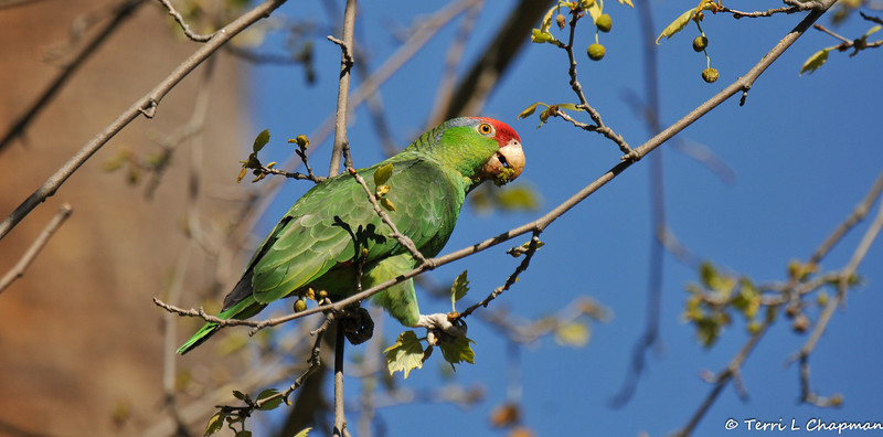 A free-flying Red-crowned Parrot