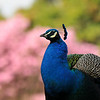 A male Indian Peacock with a beautiful blooming Pink Trumpet Tree in the  background