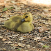 A gosling stretching its leg as it rests