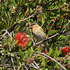 A female Black-headed Grosbeak perched in my Bottlebrush tree. Grosbeaks like the nectar in the bottlebrush blooms. This species is a migratory bird for my area.